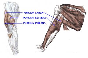 triceps-vastos